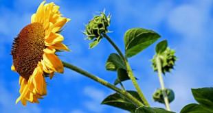 sun-flower-2663416_960_720-672x372 (1)