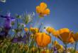 poppies-california-wild-flower-getty-672x372